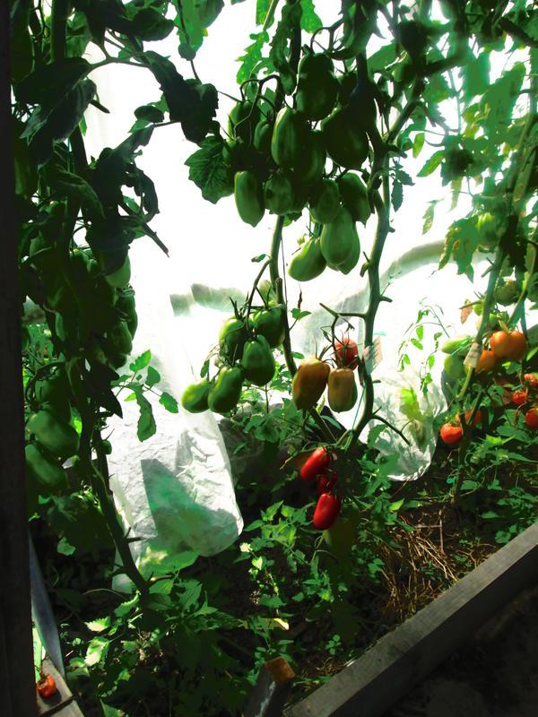 Первые кисти покраснели, начинаем сбор урожая.