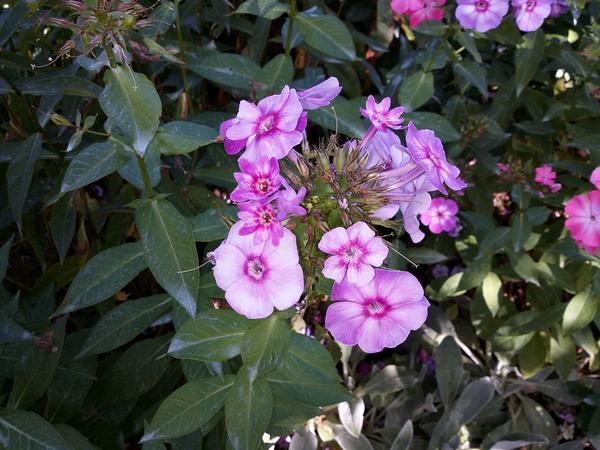 Мелкие цветки у флоксов