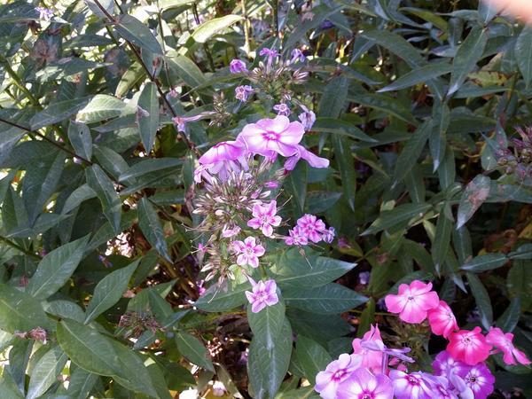 Флоксы с измельчавшими цветками.
