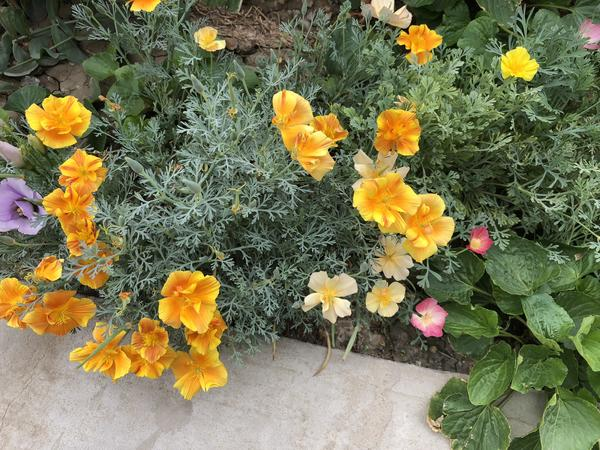 В этом году много сажала семян разных цветов, но не запомнила названия этих. Спасибо за статью, узнала своих «бабочек»))
