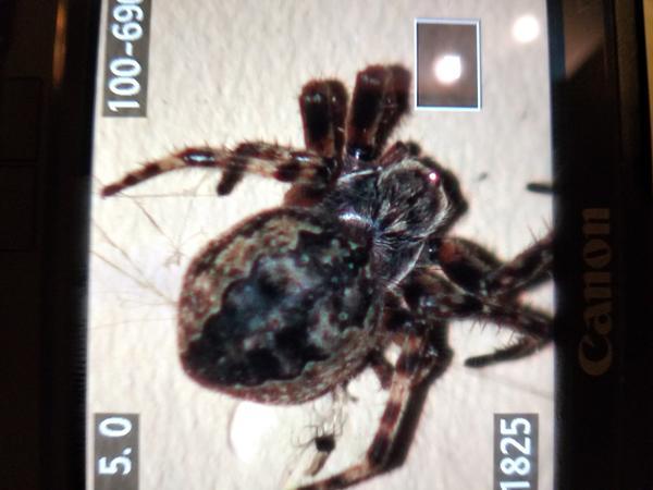 Что это за вид паука и ядовит ли он