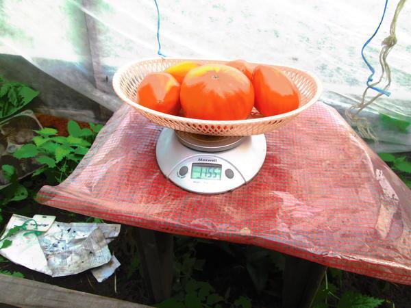 Очередной сбор и взвешивание томатов.