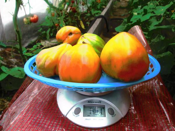 Очередное взвешивание собранных плодов.