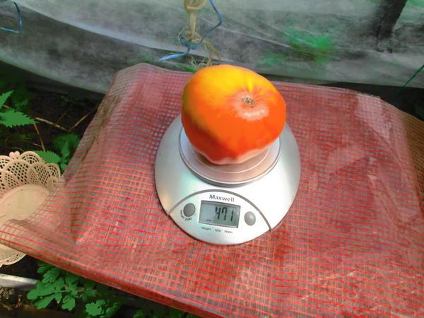 Взвешивание еще одного красавца 471 грамм.