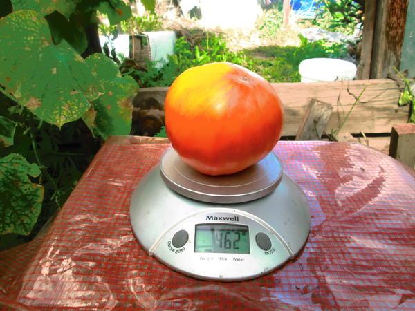 Вес одного красавца 462 гр. Снят 2 сентября.