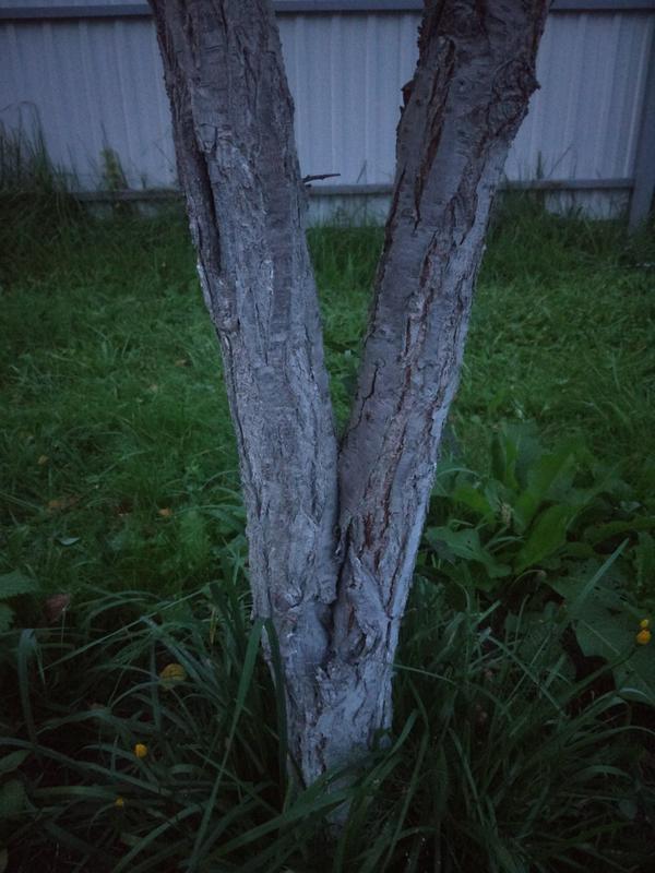 Как правильно делать обрезку? Левый ствол сливы засох(замерз, может еще что то) в общем левый сухой, правый живой и плодоносит. Как правильно и безболезненно для дерева удалить левый ствол? перпендикулярно стволу разрез делать или косой?