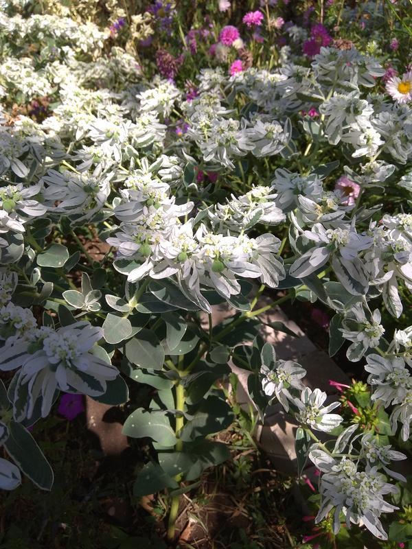 Верхушки с белыми листьями и белыми мелкими цветочками