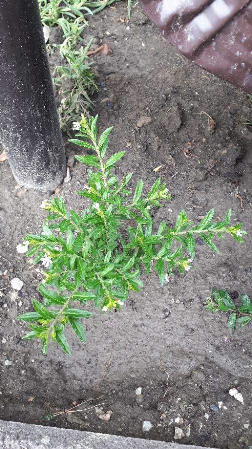 Неизвестное растение с белыми цветочками.