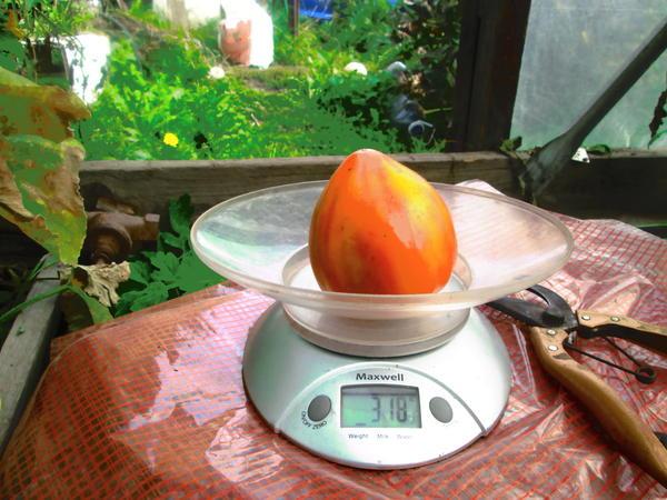 Вес красавца Сокровища инков 7 сент.318 гр.