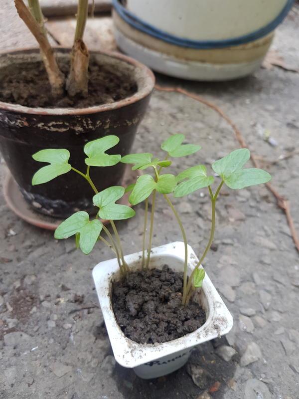 Подскажите,  пожалуйста, что за растение, выросло из семян, подарили в подарок.