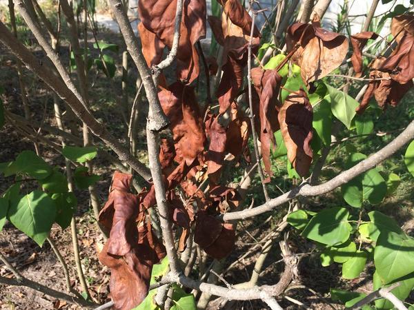 Листья становятся красно-бурыми и свертываются в конце июля - в августе