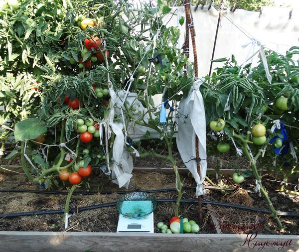 Вид куста после полного сбора томатов 07.09.18г