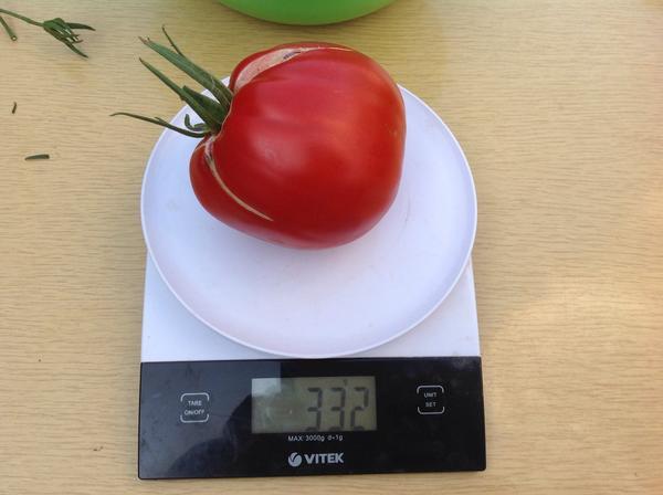 Самый крупный томат-мутант на этом кусте