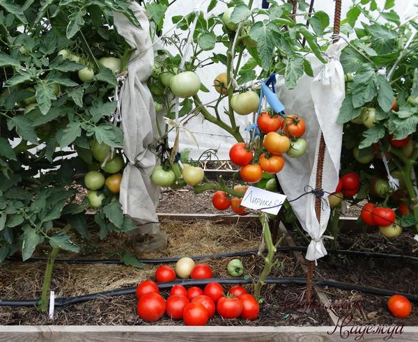 Первый сбор спелых томатов 30.07.18г