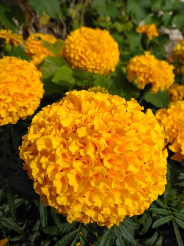 Хризантемовидные