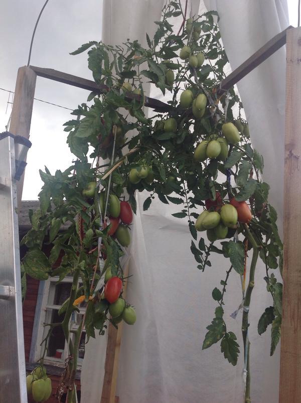 Куст с томатами близко