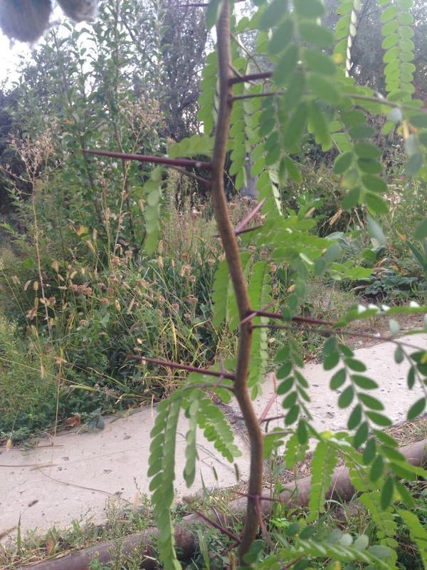 Подскажите пожалуйста что это за дерево или кустарник? Рос в Анапе, собрала семена посадила у себя дома в Казахстане. Спасибо!