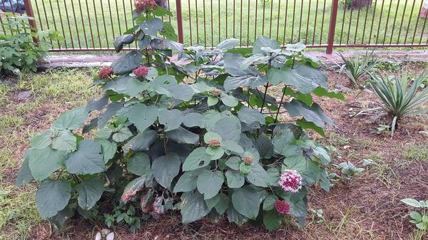 Растение из Пицунды