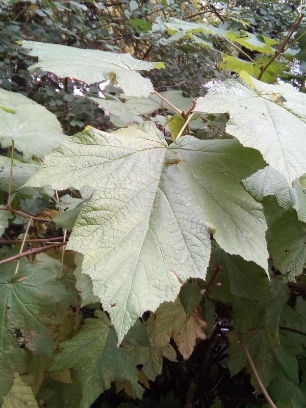 Листья крупные, с лодонь взрослого мужчины.
