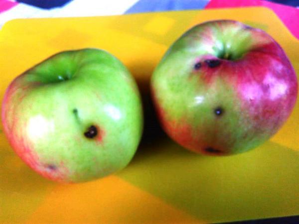 Внешний вид яблок. Сорт брянское.