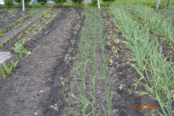И лук,а где был в ряду навоз весной посадил помидоры и перец.