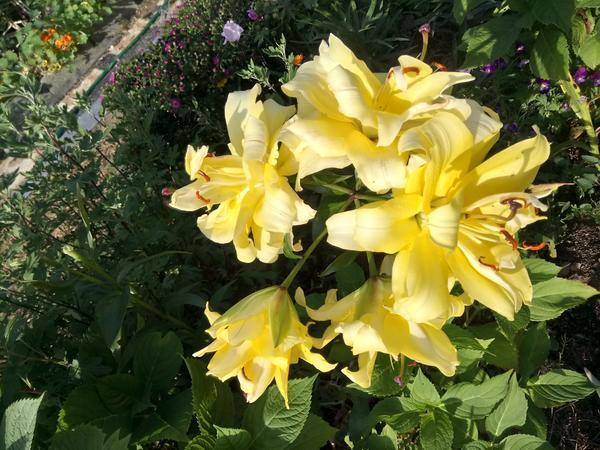 Шикарные лилии