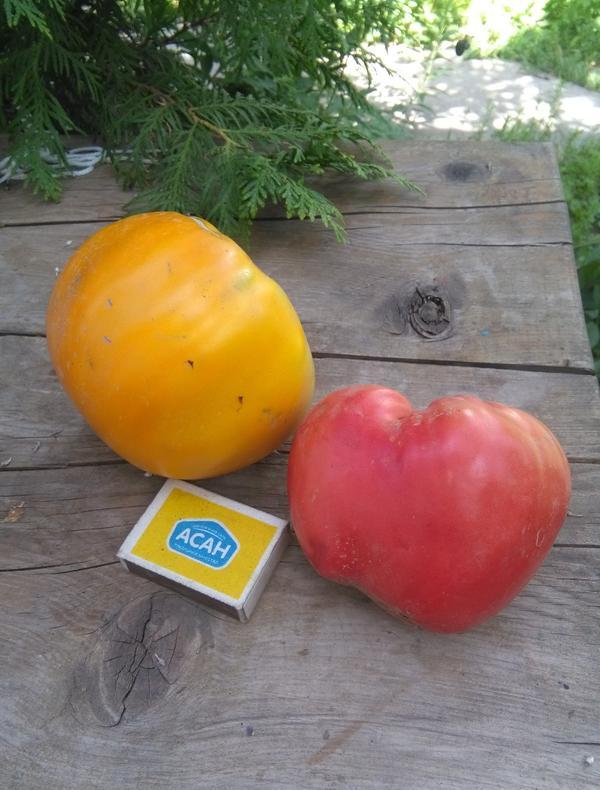 Гигант лимонный и Бычье сердце вес 700г
