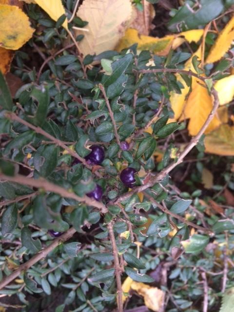 листья как у кизильника или самшита. цветы зеленоватые, мелкие, очень приятно пахнут.  растет очень медлено, горизонтальный. плоды появились впервые. прозрачные .