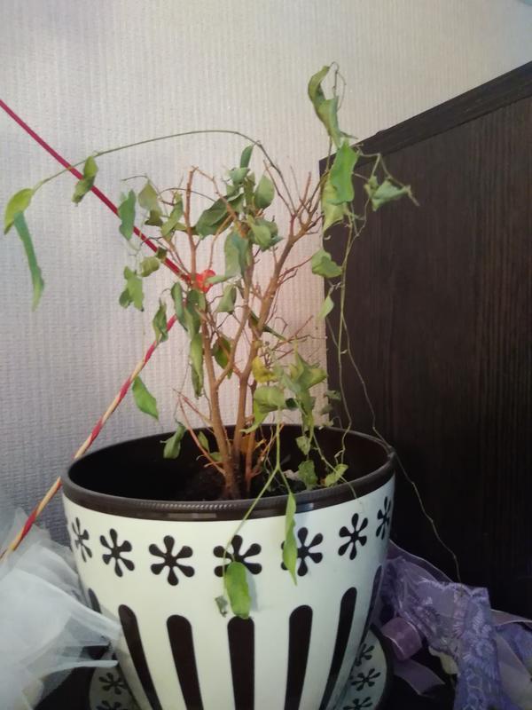 В почве чёрные червячки, крона растёт уродливо,растение начало засыхать.