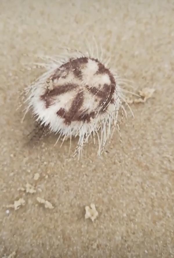 Размер этого морского обитателя небольшое (меньше руки)