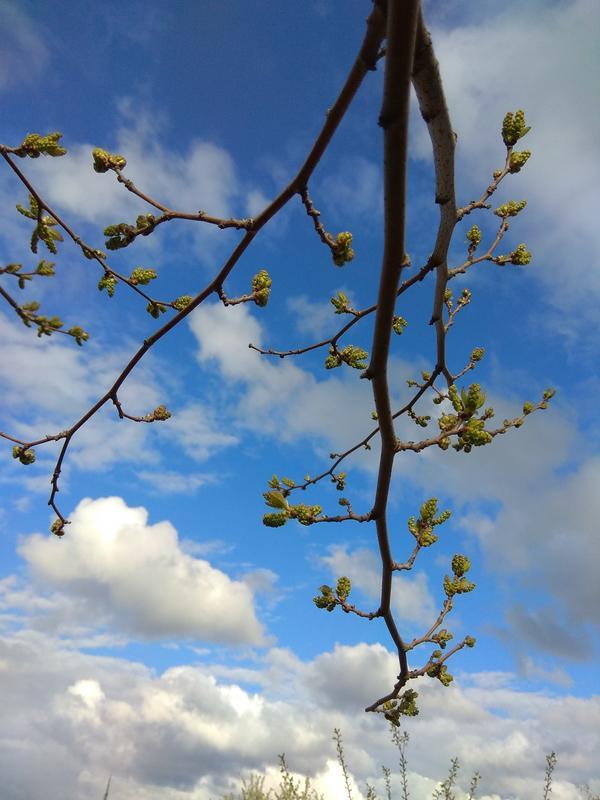 Вот сейчас май, шелковица набрала цвет.