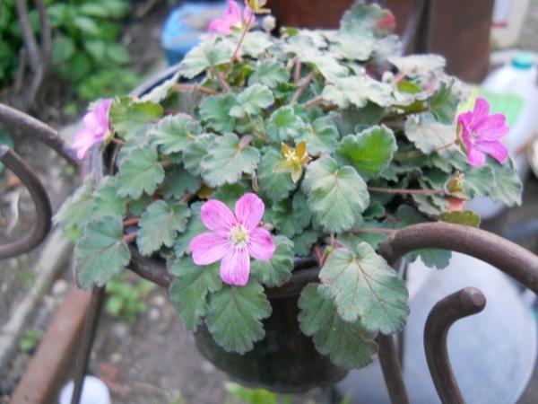 """цветок под названием """"Мазус"""" - общий вид"""
