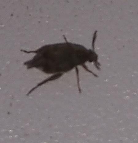 Вот таких насекомых у нас нашествие в квартире.