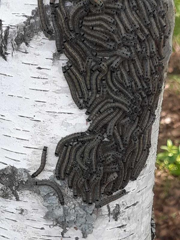 Гусеница черная на коре березы