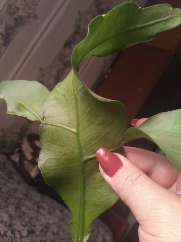 Что это за растение