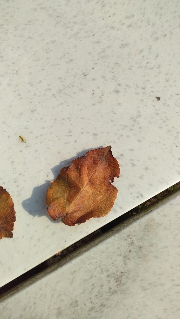 Лист яблони коричнево_желтый. Что делать?