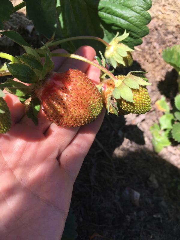 Вот такие ягоды, будто ржавеют, блеска и гладкости нет