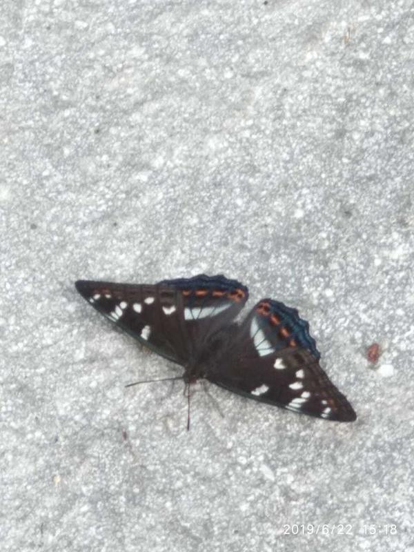 тподскажите что за бабочка?