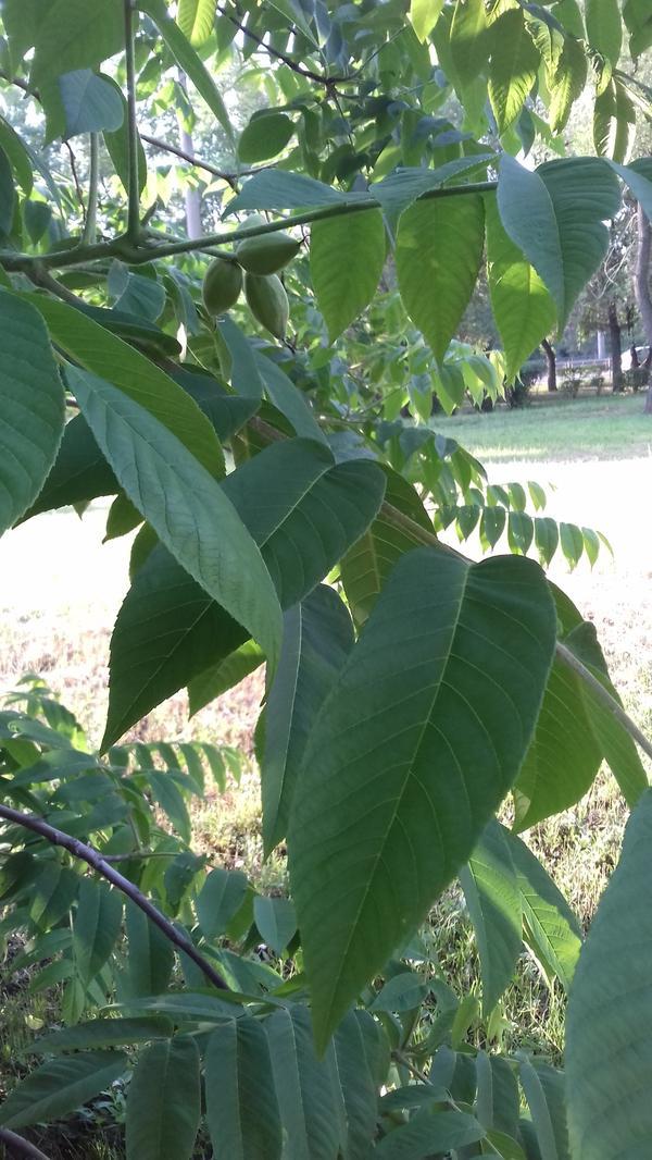Определить дерево по фото