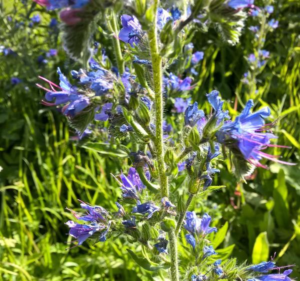 растение с голубоватолиловыми цветами  ствол с мягкими шипиками слегка липкий