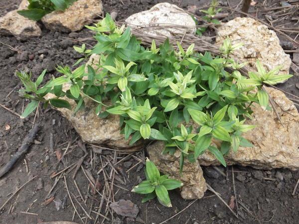 На концах стеблей горечавки листья изменили цвет, кончики листочков сохнут. Как справиться с этой проблемой?