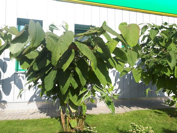 Крупное растение отрастает весной, зимой отмирает