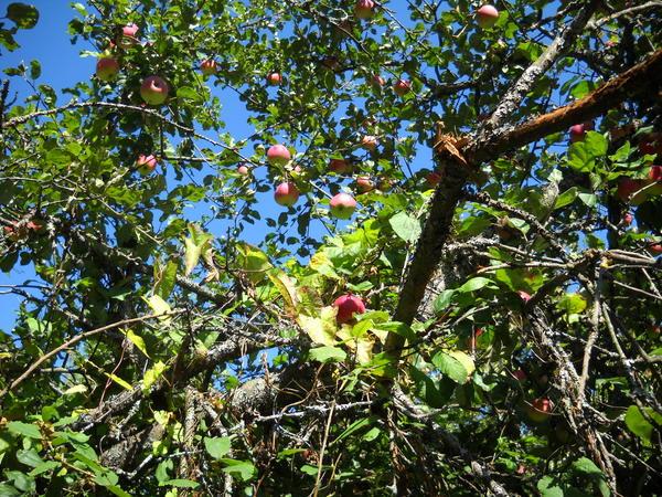 яблоня в конце августа