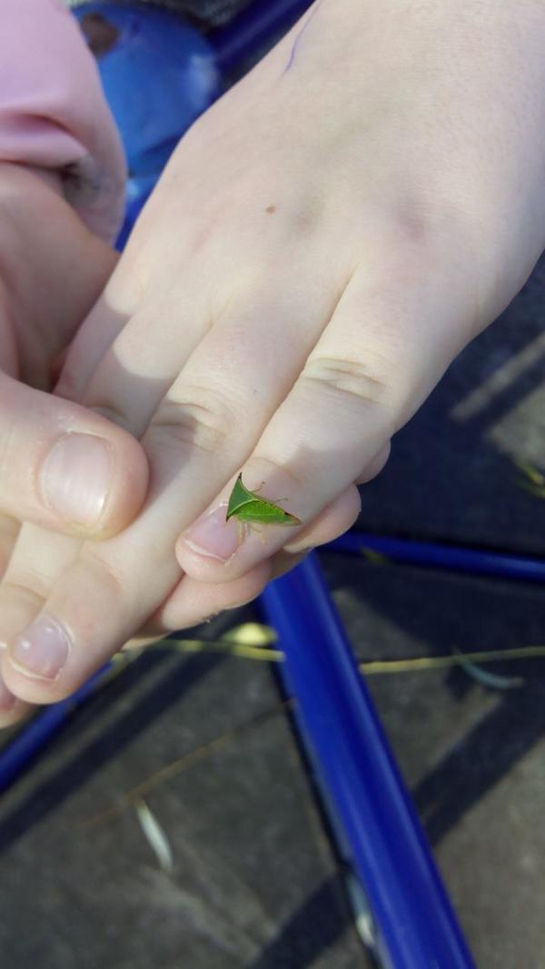 Что это за жучок, очень похож на маленький зелёный листочек?