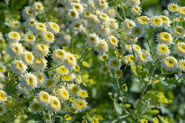 Садовые цветы, цветение в средине августа
