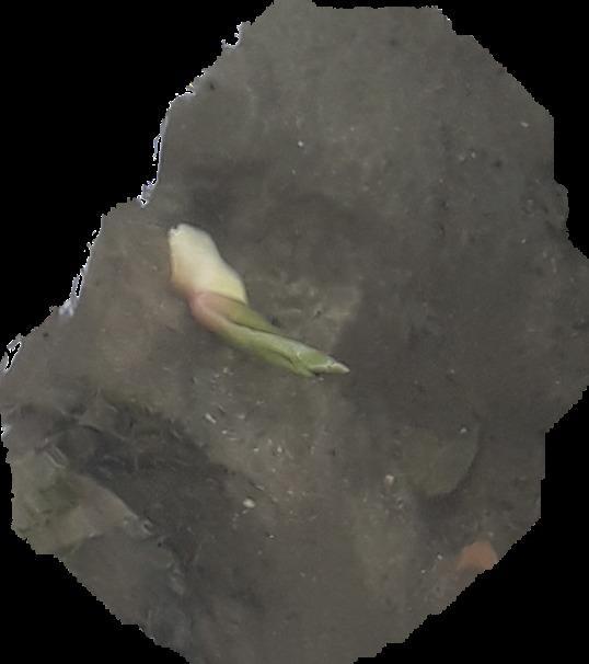 растет в пресном водоеме в проточной воде