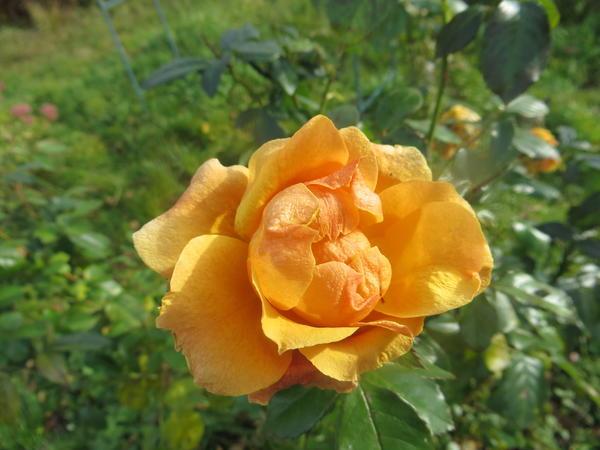 Роза флорибунда Ал Голд