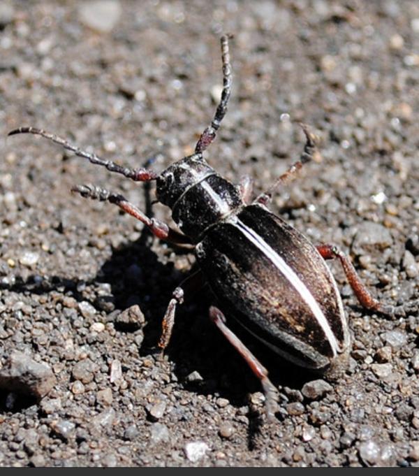 черный усатый жук с белой полосой на спине