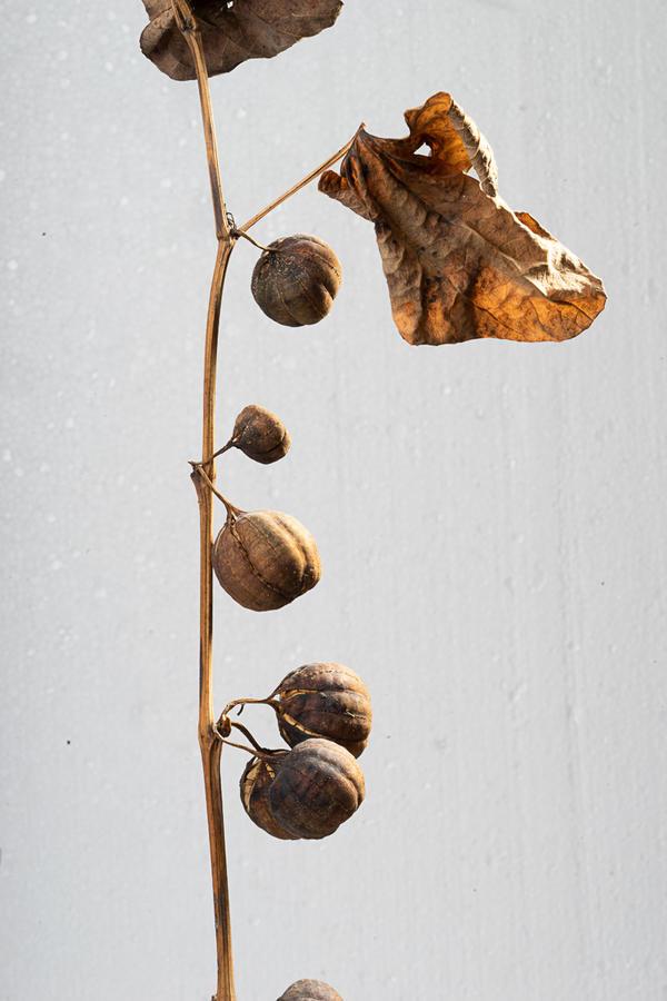 Плоды растения, сфотографированные  недавно. Летом часто гуляла в том месте, где сейчас растут эти плоды, но цветов не замечала.