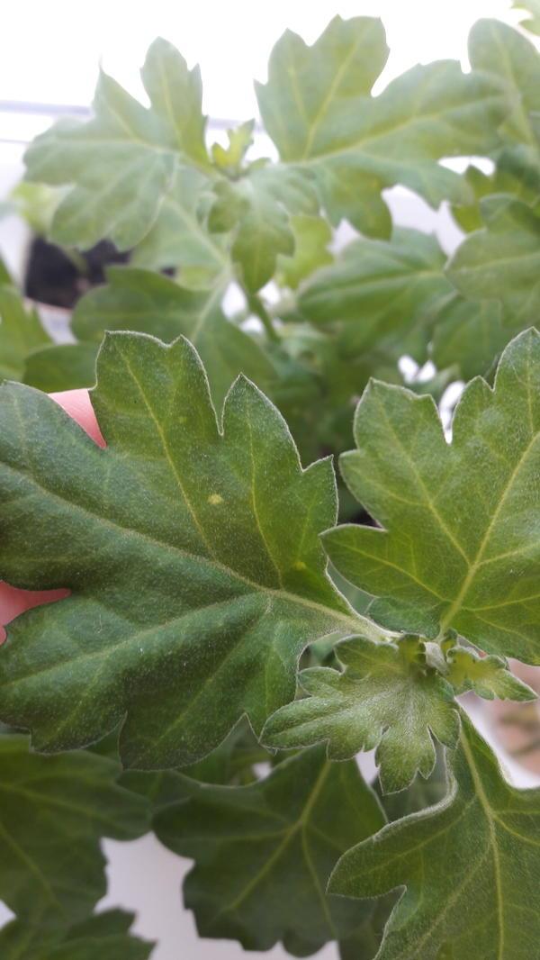 Листтья хризантемы покрылся пятнами